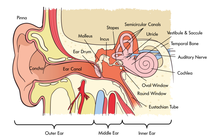 the auditory sense Hearing is made possible through physical movement, rather than chemical reactions learn about hearing and see diagrams explaining the hearing process.